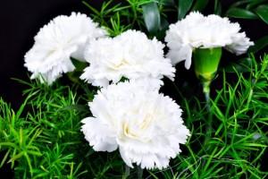 carnations white